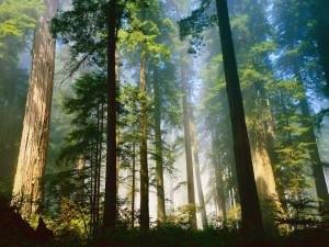 Фото: кедровый лес
