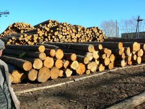 Фото: бревна лиственницы готовые к производству бруса на складе производителя